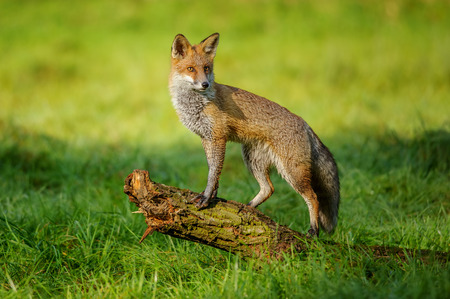 Red fox standing on tree trunk in green grass on nice autumn sunlight