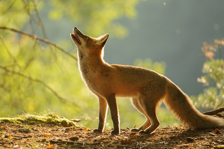 Red fox from side standing in beauty autumn backllight and looking up Stock Photo