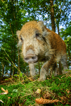 ranging: Wild boar snout from down closeup view in colorful autumn forest Stock Photo
