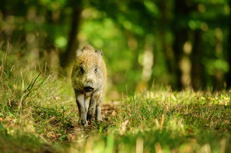 ranging: Runing wild boar in colorfull forestfrom front view Stock Photo