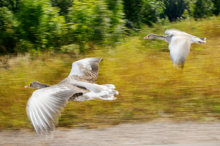quickness: Greylag goose in fast flying speed with yello field in background Stock Photo