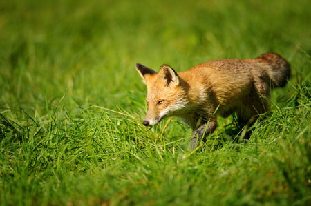 canny: Red fox walking in green and sniff around