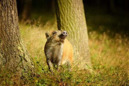 scrofa: Wild boar baby sniffing side between tree trunks