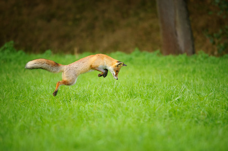 Red fox on hunt when mousing in grass field during autumn with forrest in background