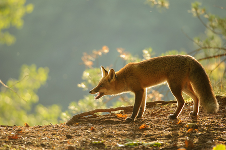 canny: Crouched red fox in beauty autumn backlight with open mouth