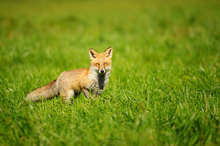 nifty: Red fox standing in green grass from front view