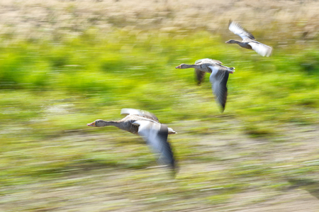quickness: Greylag goose flock in flying motion in sunny summer day