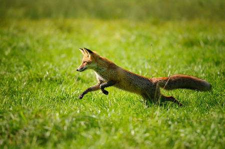 Red fox  jumping and runing in green grass from side view