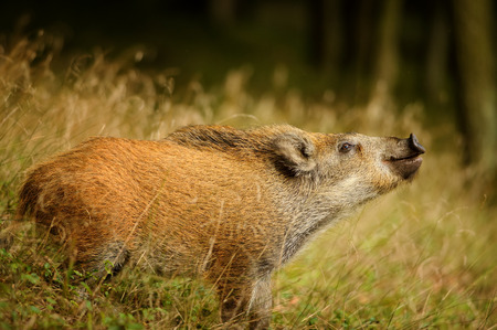 ranging: Sniffing wild boar from side view. Juvenile in long yellow grass in autumn forest Stock Photo