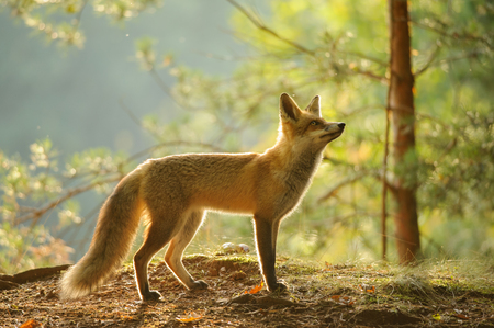 canny: Red fox from side view in beauty backlight in autumn forest with tree in background