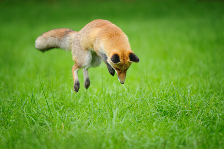 Red fox on hunt when mousing in grass field during autumn  from front side view Stock Photo