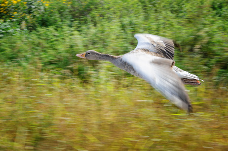 yeloow: Greylag goose in panning motion during flight upon yeloow and green field Stock Photo