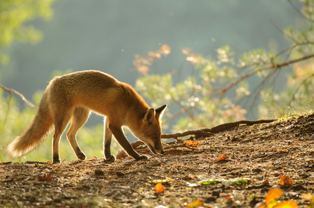 canny: Sniffing red fox in beauty autumn backlight from side view