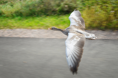 rapidity: Greylag goose in fast flying speed upon road near coloful field in background Stock Photo