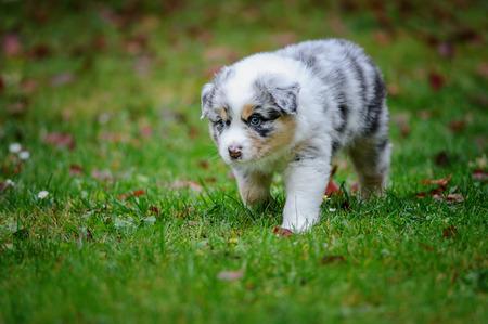 Cute Australian Shepherd puppy exploring world on garden grass