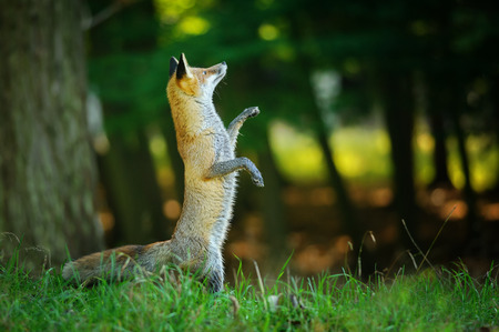 fairy  tail: Red fox standing on hind legs in forest like in fairy tail and looking up