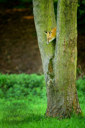 canny: Hidden red fox looking down from tree trunk to the green grass Stock Photo