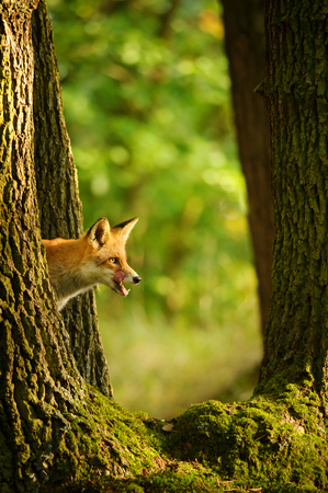Red fox hidden behing tree trunk peep a lick it self in beatuy sunny forest in autumn Stock Photo