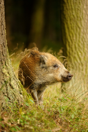 Wild boar baby in yellow grass sniffing between tree trunks in autumn forest