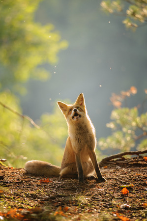 canny: Red fox siitng in autumn backlight during Indian summer looking up with open mouth Stock Photo