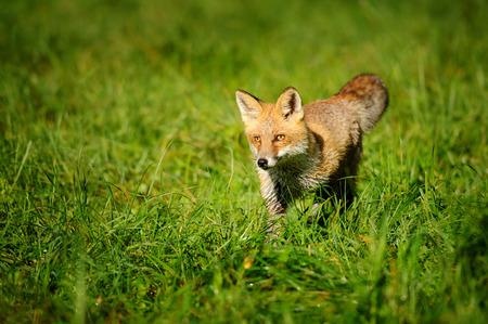 zorro: Red de pie zorro en la hierba verde de la vista frontal Foto de archivo