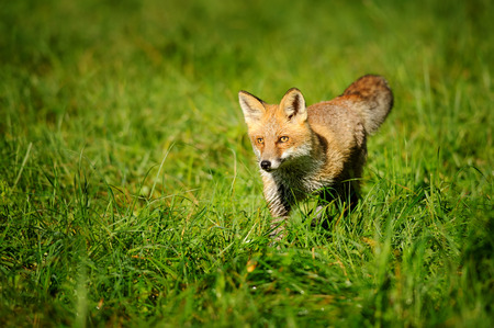 fox animal: Red fox standing in green grass from front view