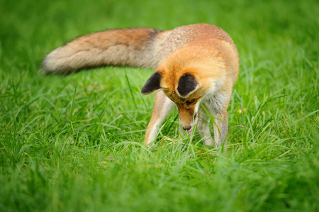 canny: Red fox standing looking down to green grass from front view with tail on side