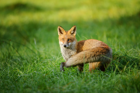 Red fox standing in grass from side and put one leg up