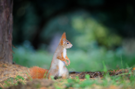 oido: Curious cute red squirrel standing in autumn forest ground and looking right. Photo with nice blured colors in background.