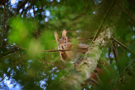 curiously: Cute red squirrel hidden in branches on coniferous tree looking curiously down. Photo with nice blured background and foreground. Stock Photo