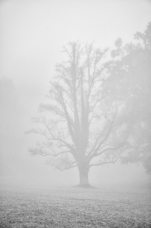 despondency: Dark tree silhouette in fog with added film grain in monochromatic style. Mysterious atmosphere in blue melacholic moode Stock Photo