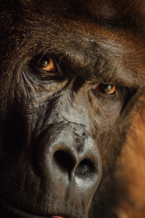 Angry looking gorilla with dangerous expression. Closeup portrait of male ape. Stock fotó