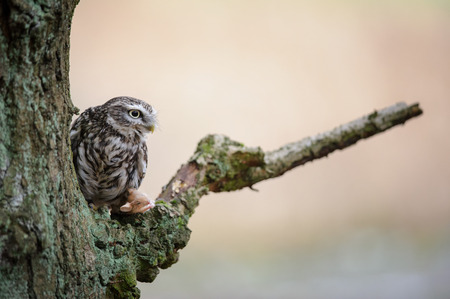 wingspan: Little owl with mouse pray sitting next to tree trunk