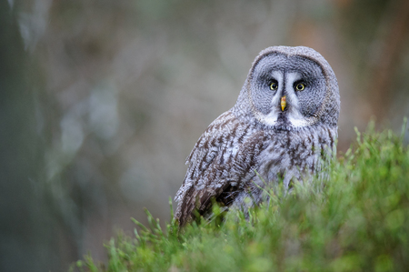 wingspan: Great grey owl sitting on green ground with blured brown wood background Stock Photo