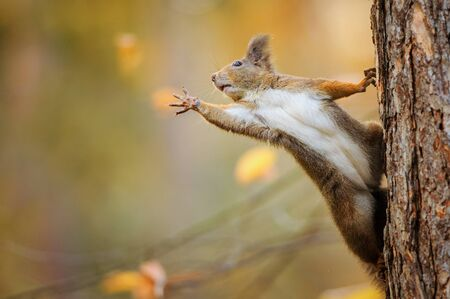 Cute red squirrel on the tree trunk eagerly reaching for what she want most by her paws Stock Photo