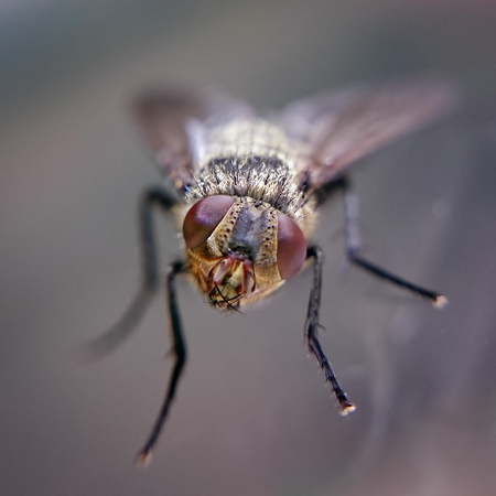 housefly: Curious fly with head cocked and staring eyes. Housefly from front view in very closeup detail on transparent windows.