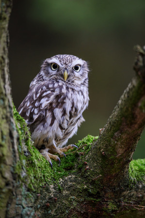 Little owl sitting on tree branch with blurred background