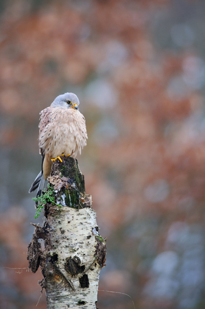 Common kestrel standing on birch with blurred background
