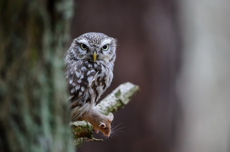 Little owl with hunted mouse prey sitting on tree branch with next to tree trunk