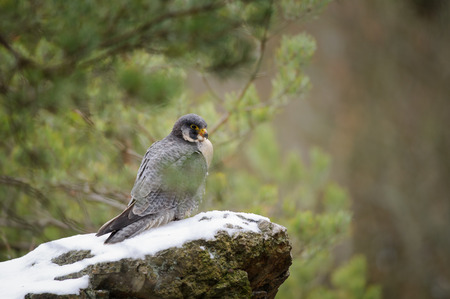 Peregrine Falcon sitting on rock with snow in the forest