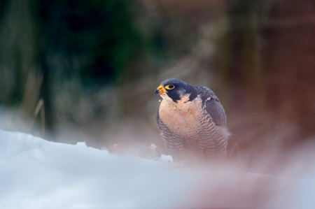 Peregrine Falcon on snow in magic colorful winter forest Reklamní fotografie