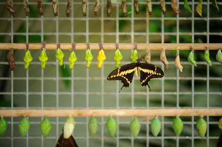 Buterfly farm full of coccons with hatched butterfly