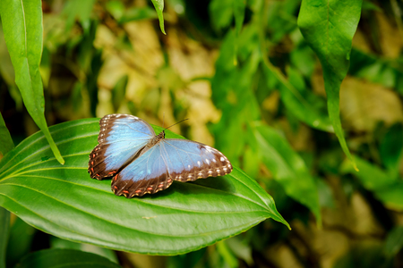 Closeup detail of beautiful blue butterfly in the jungle.