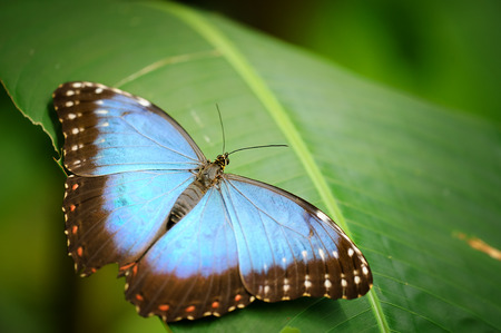 Closeup detail of beautiful blue butterfly on the green leaf of tropical plant