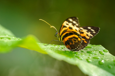 Tropical colorful butterfly sitting on green leaf between fresh waterdrops.