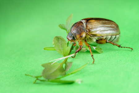 living organism: Closeup view on common cockchafer from side view on green background with leaves. Nature pest. European beetle
