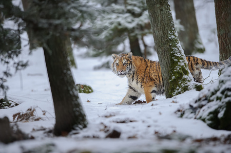 Siberian tiger walking in forest