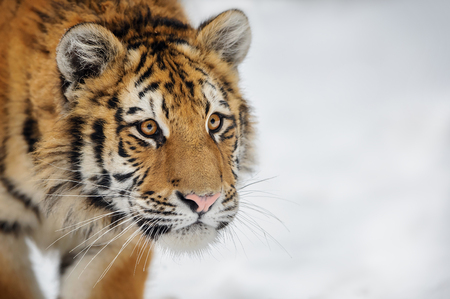 Tiger looking to some attention