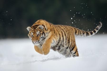 Tiger springen op sneeuw