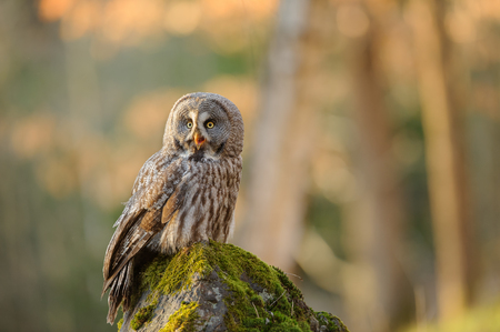 Great grey owl sitting on mossy stone